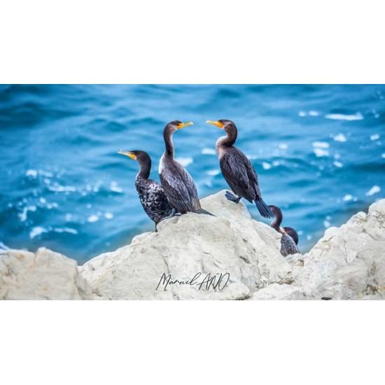 Les cormorans gaspésiens
