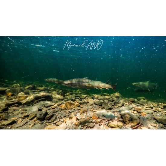 Les saumons de la Cap-Chat