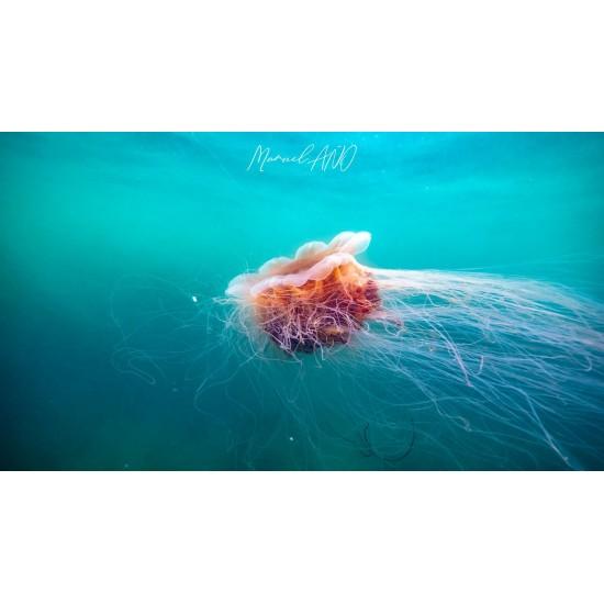 Trainée de méduse